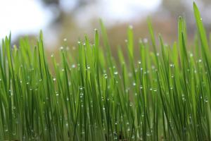 Solutions to global warming: Greener lawns with this simple tip